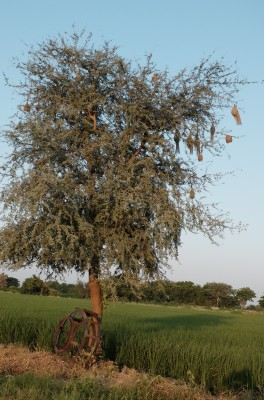 Nests of Baya Weaver Birds Sep 2018