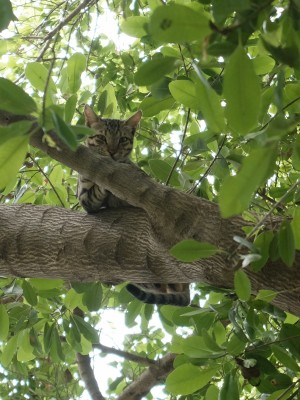 Wild Cat in Raini Tree Aug 2018