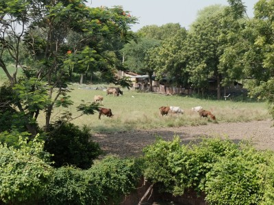 Cows Grazing on Lush Monsoon Grass Sep 2020