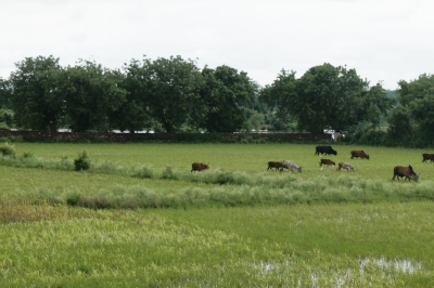 Cows in Water Logged Fields Aug 2019