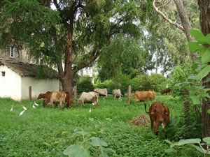 Cows Grazing Near Woodapple Tree