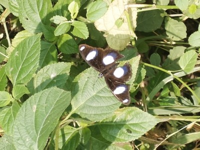 Eggfly Butterfly on the Farm Sep 2020
