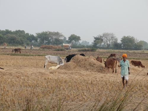 Farm Scene at Rice Harvesting Nov 2019