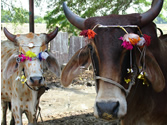 Cows Decorated for Govardhan Puja