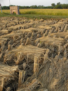 Harvested Paddy