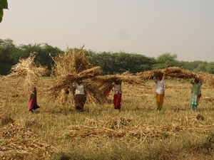 Gathering Jowar after Harvest