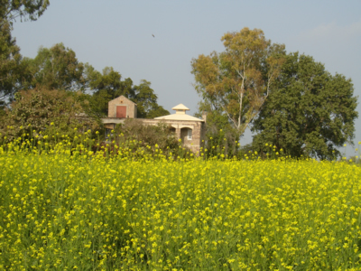Bright mustard fields