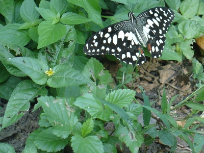 Lime Butterfly Sep 2014