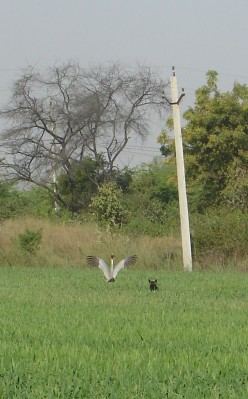 Lucy chasing a Sarus Crane