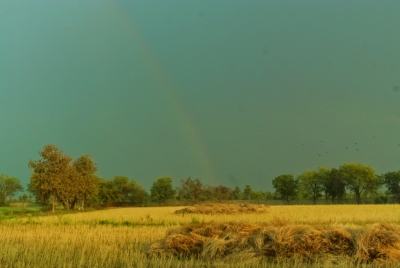 Rainbow and Mustard Fields