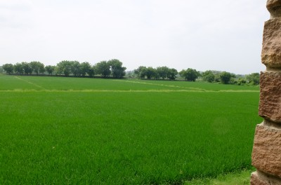 Rice Fields Aug 2018