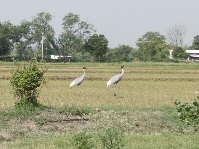 Sarus Cranes on the Farm July 2020
