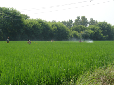 Spraying in the Rice Fields