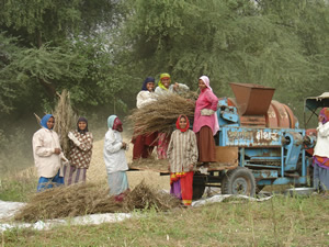 Mustard Cutters and Threshing
