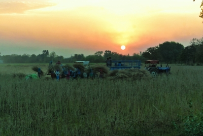 Threshing Mustard at Sunset
