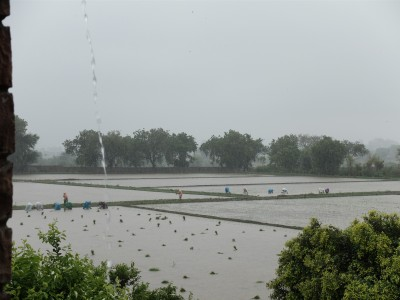 Women Transplanting Rice in Rain July 2018